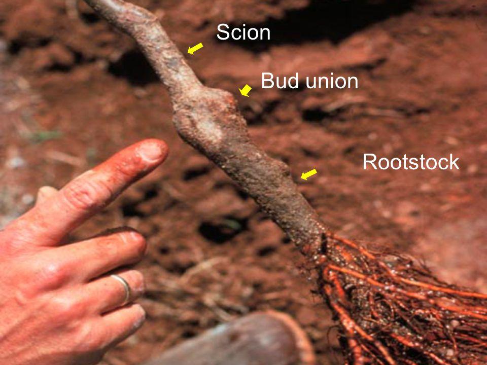 Scion Rootstock Bud union