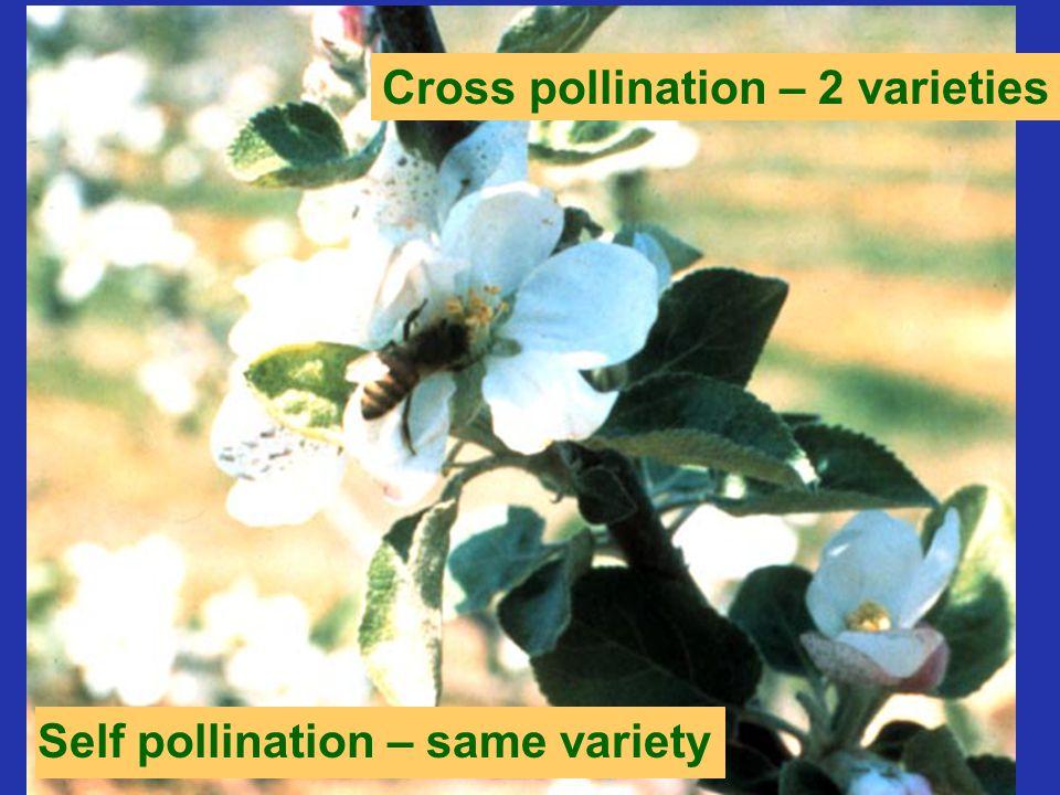 Self pollination – same variety Cross pollination – 2 varieties