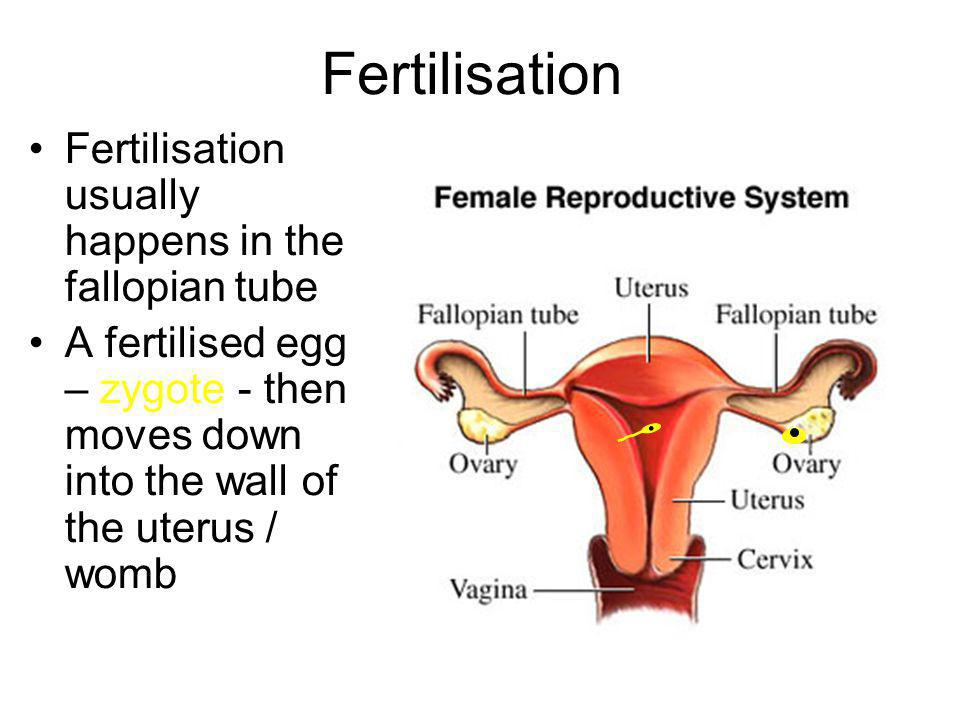Occurs when a male gamete (sperm) fuses with the female gamete (egg) to form a zygote Also referred to as conception Sperm + egg = zygote Fertilisation