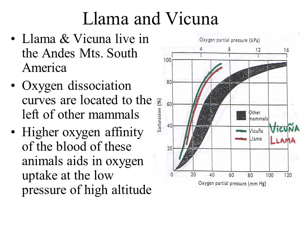Llama and Vicuna Llama & Vicuna live in the Andes Mts. South America Oxygen dissociation curves are located to the left of other mammals Higher oxygen