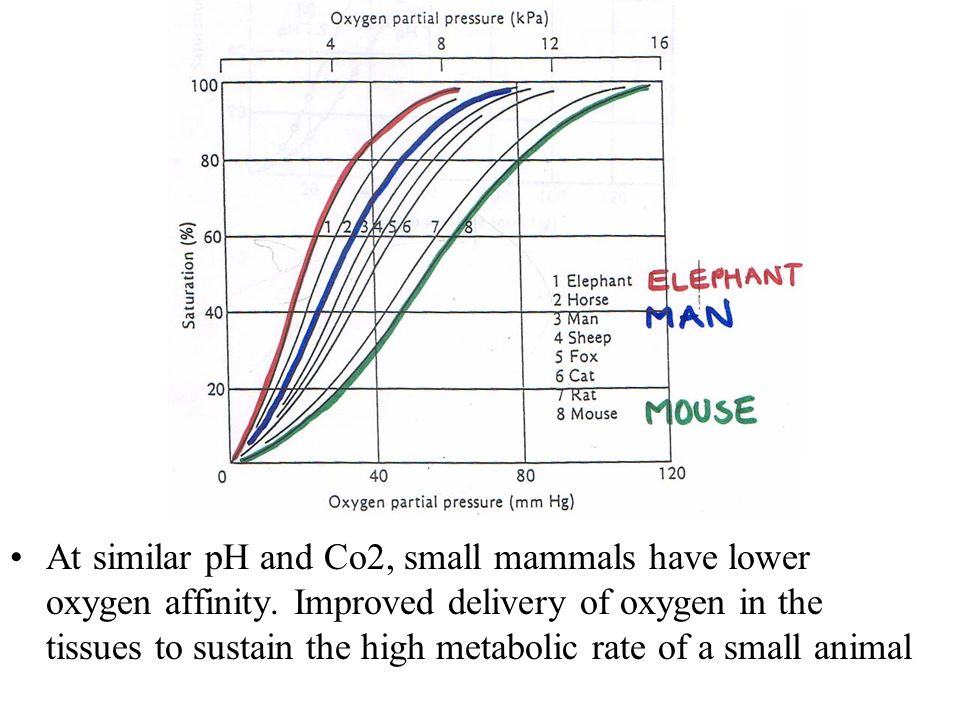 At similar pH and Co2, small mammals have lower oxygen affinity.