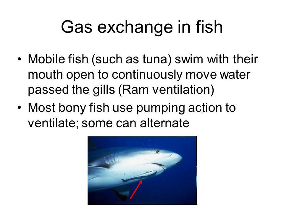 Gas exchange in fish Mobile fish (such as tuna) swim with their mouth open to continuously move water passed the gills (Ram ventilation) Most bony fis