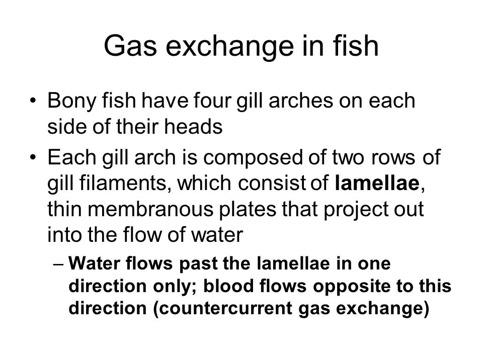 Gas exchange in fish Bony fish have four gill arches on each side of their heads Each gill arch is composed of two rows of gill filaments, which consi