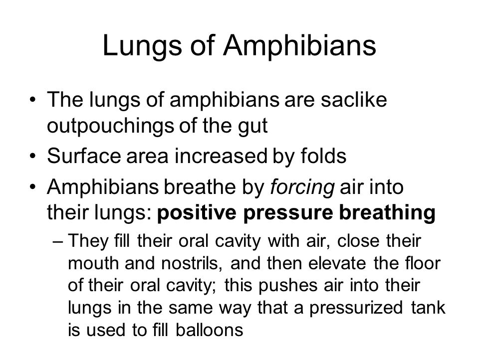 Lungs of Amphibians The lungs of amphibians are saclike outpouchings of the gut Surface area increased by folds Amphibians breathe by forcing air into