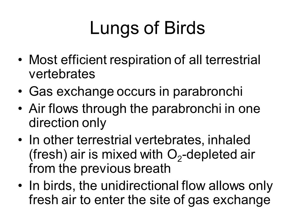 Lungs of Birds Most efficient respiration of all terrestrial vertebrates Gas exchange occurs in parabronchi Air flows through the parabronchi in one d