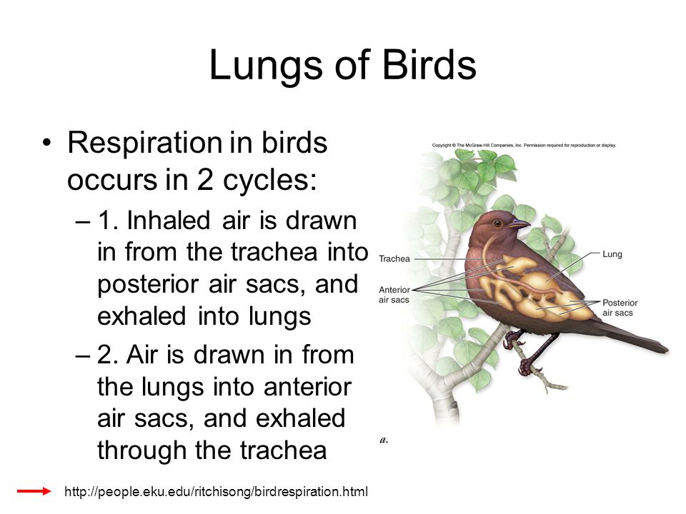 Lungs of Birds Respiration in birds occurs in 2 cycles: –1. Inhaled air is drawn in from the trachea into posterior air sacs, and exhaled into lungs –