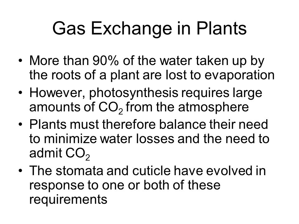 Gas Exchange in Plants More than 90% of the water taken up by the roots of a plant are lost to evaporation However, photosynthesis requires large amou