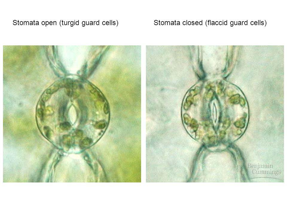 Open And Closed Stomata Diagram More Information Modni Auto