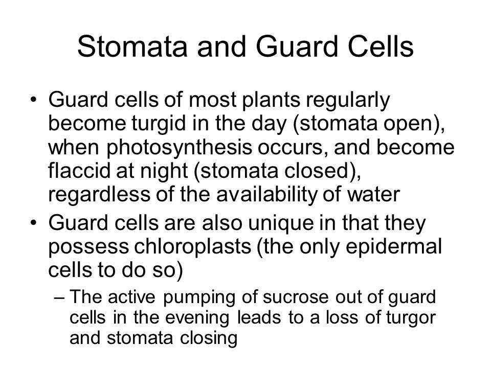 Stomata and Guard Cells Guard cells of most plants regularly become turgid in the day (stomata open), when photosynthesis occurs, and become flaccid a