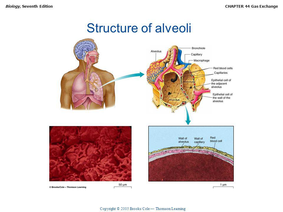 Copyright © 2005 Brooks/Cole Thomson Learning Biology, Seventh EditionCHAPTER 44 Gas Exchange Structure of alveoli
