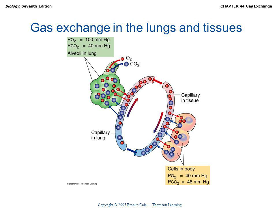 Copyright © 2005 Brooks/Cole Thomson Learning Biology, Seventh EditionCHAPTER 44 Gas Exchange Gas exchange in the lungs and tissues