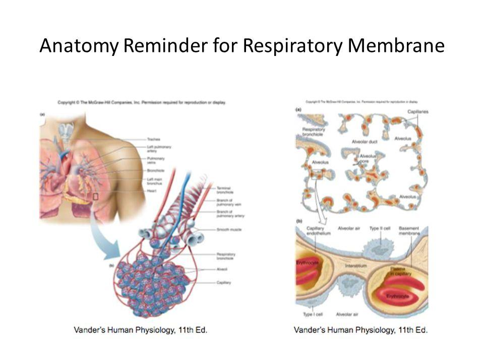 Anatomy Reminder for Respiratory Membrane