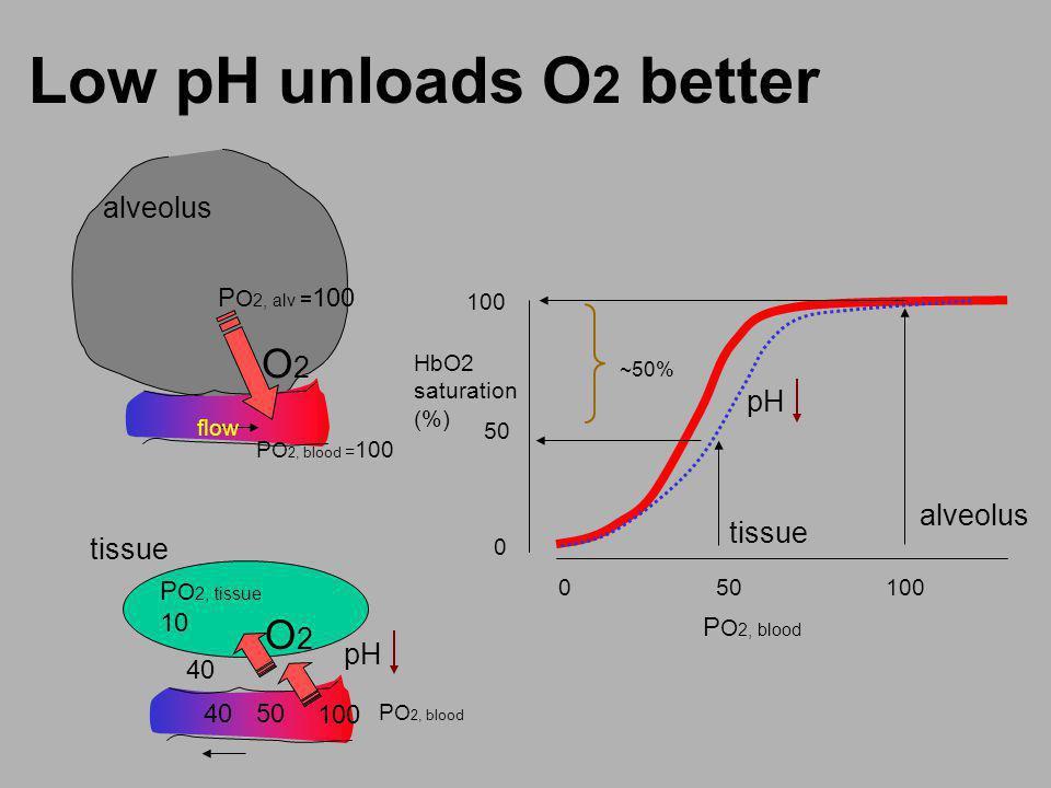 Low pH unloads O 2 better flow O2O2 P O 2, alv = 100 alveolus O2O2 P O 2, tissue 10 P O 2, blood = 100 P O 2, blood 40 100 4050 tissue alveolus 0 50 1