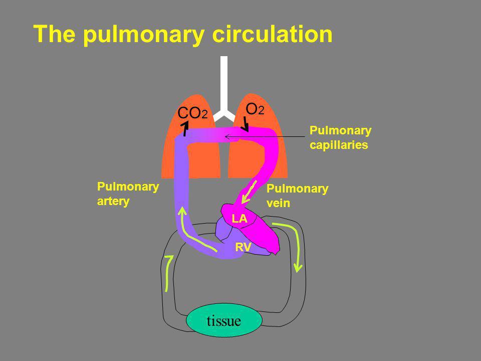 The pulmonary circulation tissue CO 2 O2O2 Pulmonary artery RV LA Pulmonary vein Pulmonary capillaries