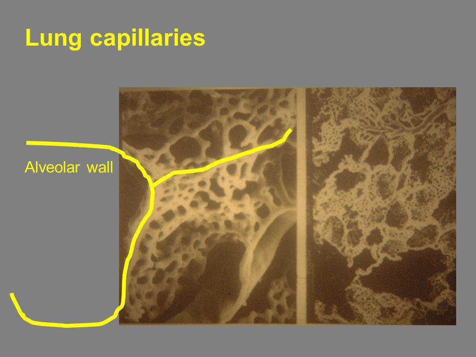 Alveolar wall Lung capillaries