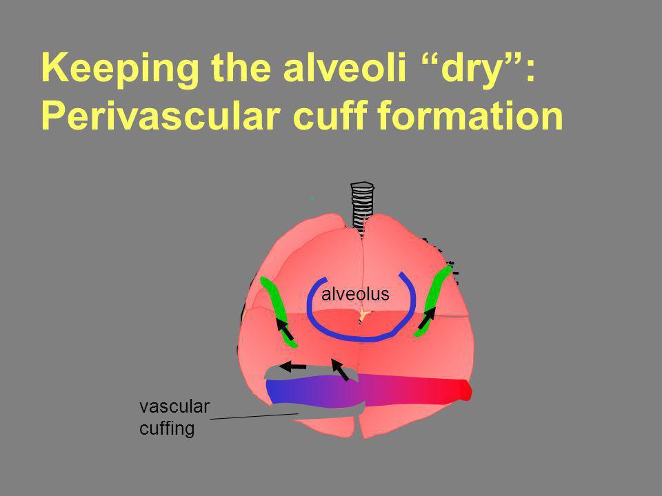 Keeping the alveoli dry: Perivascular cuff formation