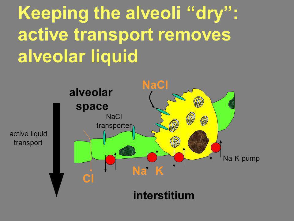 alveolar space interstitium NaCl NaK Cl Keeping the alveoli dry: active transport removes alveolar liquid active liquid transport Na-K pump NaCl trans