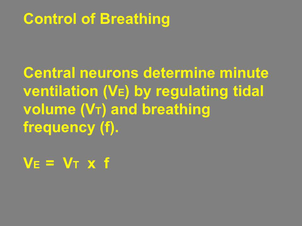 Control of Breathing Central neurons determine minute ventilation (V E ) by regulating tidal volume (V T ) and breathing frequency (f). V E = V T x f