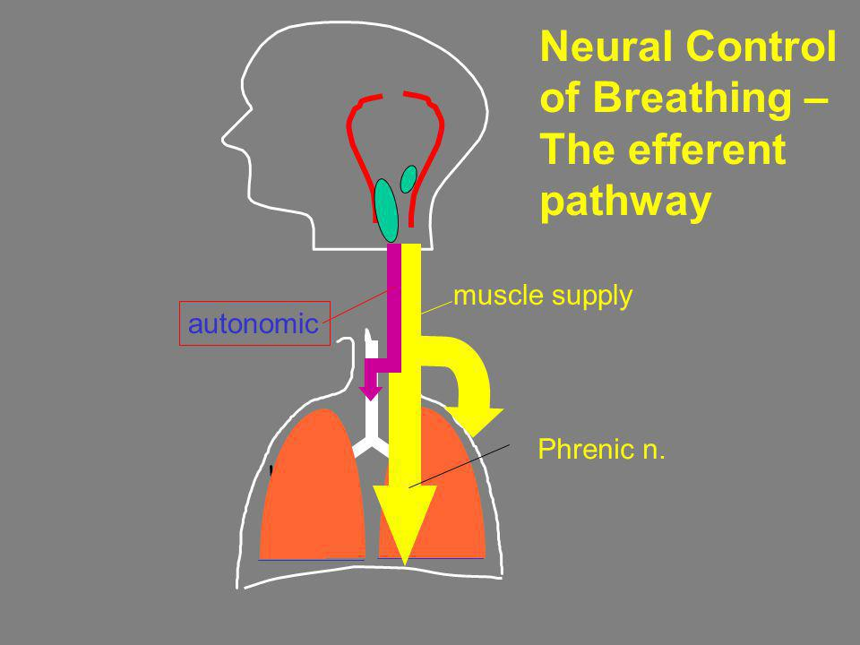 Neural Control of Breathing – The efferent pathway Phrenic n. muscle supply autonomic