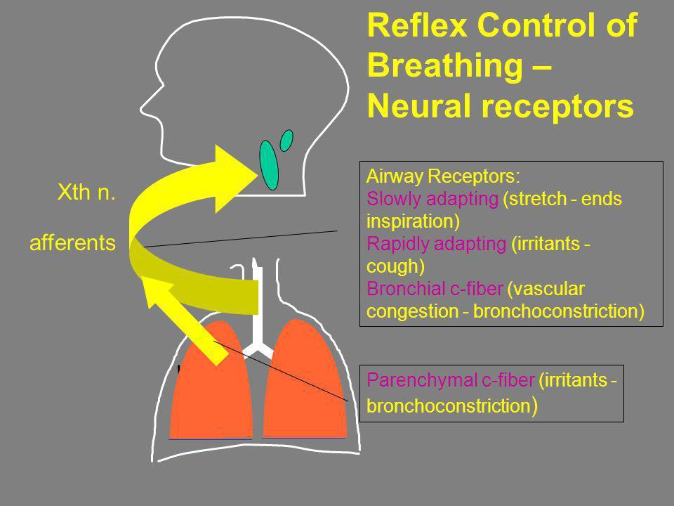 Airway Receptors: Slowly adapting (stretch - ends inspiration) Rapidly adapting (irritants - cough) Bronchial c-fiber (vascular congestion - bronchoco
