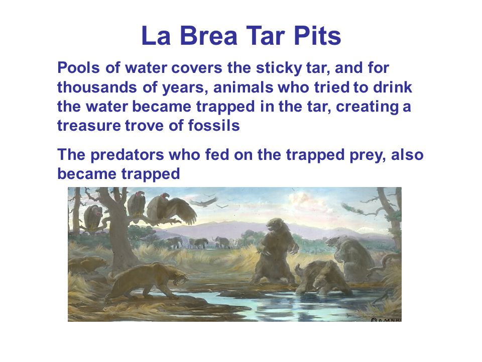 La Brea Tar Pits Pools of water covers the sticky tar, and for thousands of years, animals who tried to drink the water became trapped in the tar, creating a treasure trove of fossils The predators who fed on the trapped prey, also became trapped