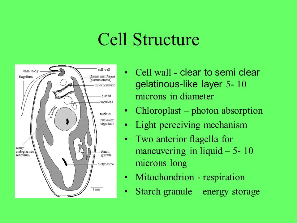 Cell Structure Cell wall - clear to semi clear gelatinous-like layer 5- 10 microns in diameter Chloroplast – photon absorption Light perceiving mechan