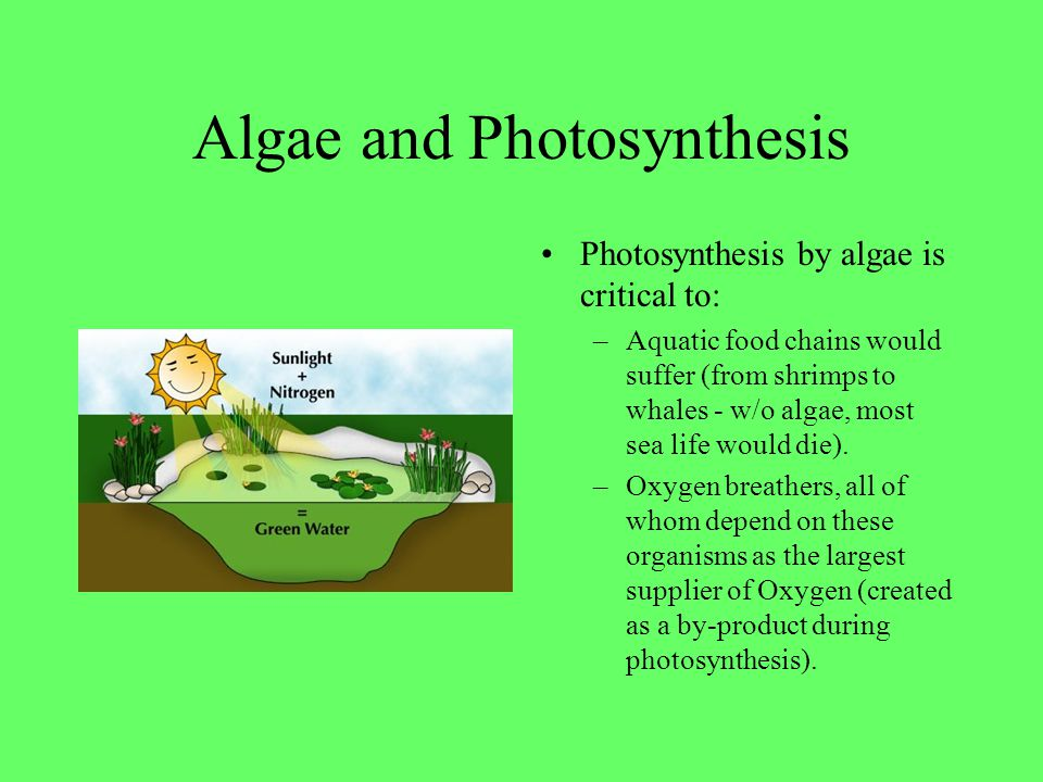 Algae and Photosynthesis Photosynthesis by algae is critical to: –Aquatic food chains would suffer (from shrimps to whales - w/o algae, most sea life