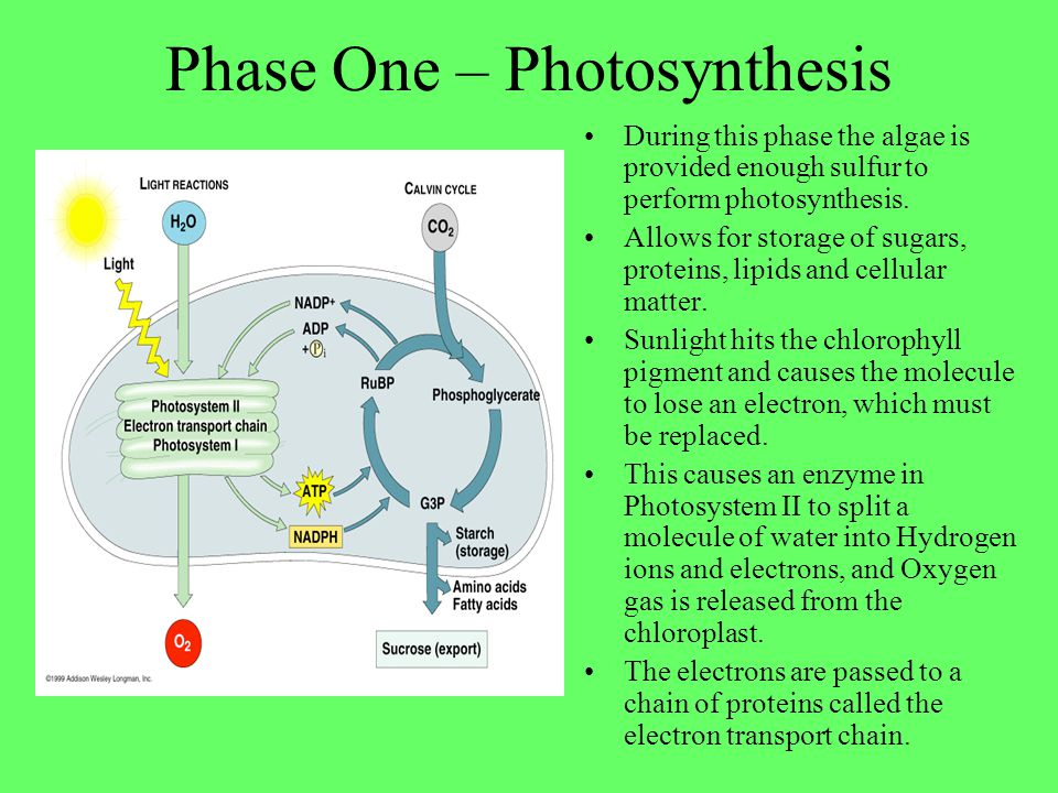 Phase Two – Sulfur Deprivation Either carefully regulate the supply of sulfur in the growth medium so that is totally consumed, or Allow the cells to converge in the growth chamber before the growth medium is replaced one that lacks sulfur nutrients.