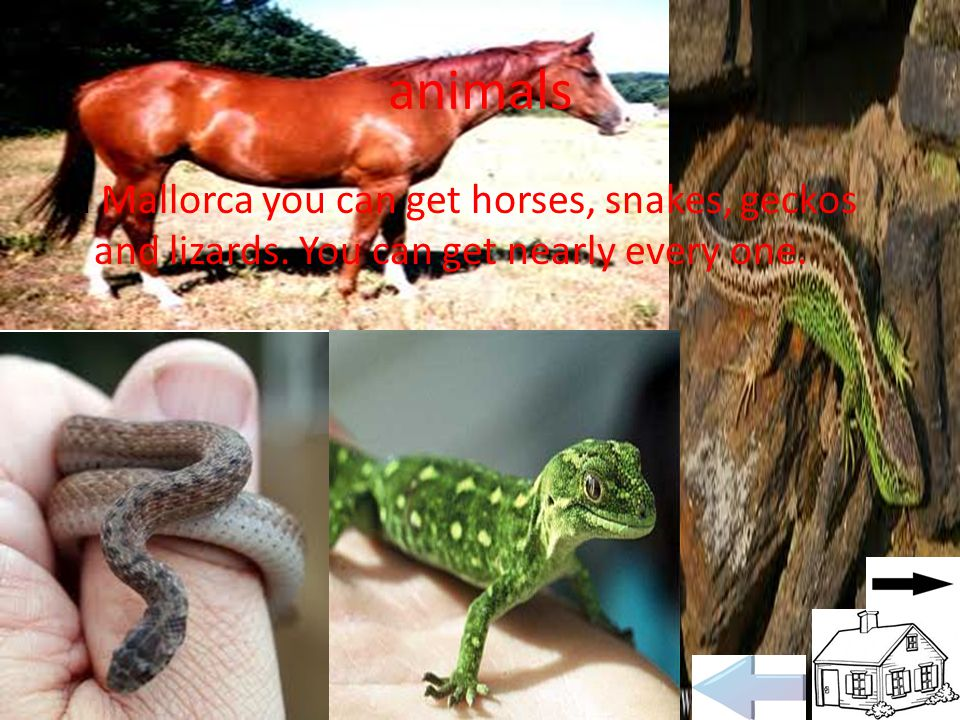 animals In Mallorca you can get horses, snakes, geckos and lizards. You can get nearly every one.