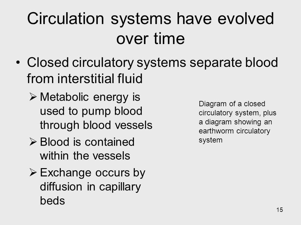 15 Diagram of a closed circulatory system, plus a diagram showing an earthworm circulatory system Circulation systems have evolved over time Metabolic