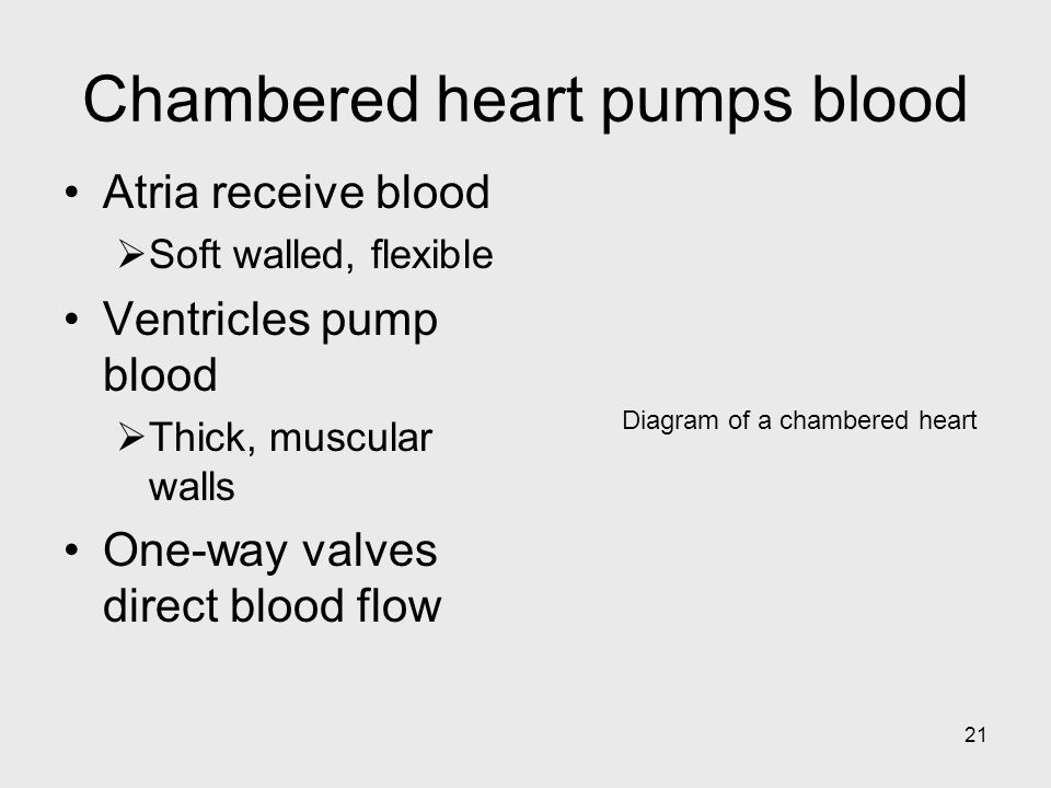 21 Diagram of a chambered heart Chambered heart pumps blood Atria receive blood Soft walled, flexible Ventricles pump blood Thick, muscular walls One-