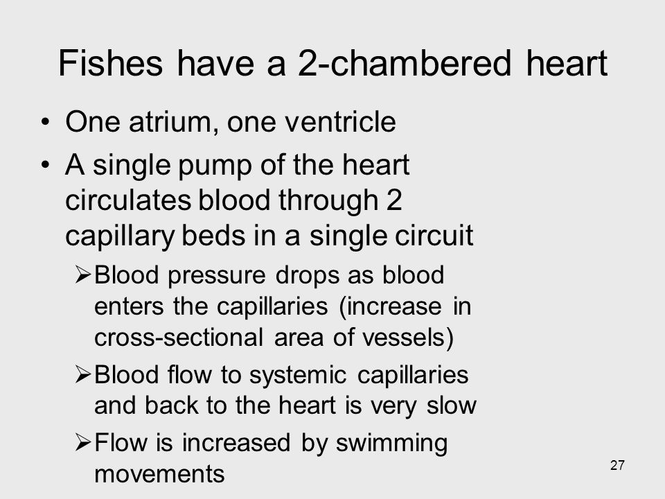 27 Fishes have a 2-chambered heart One atrium, one ventricle A single pump of the heart circulates blood through 2 capillary beds in a single circuit
