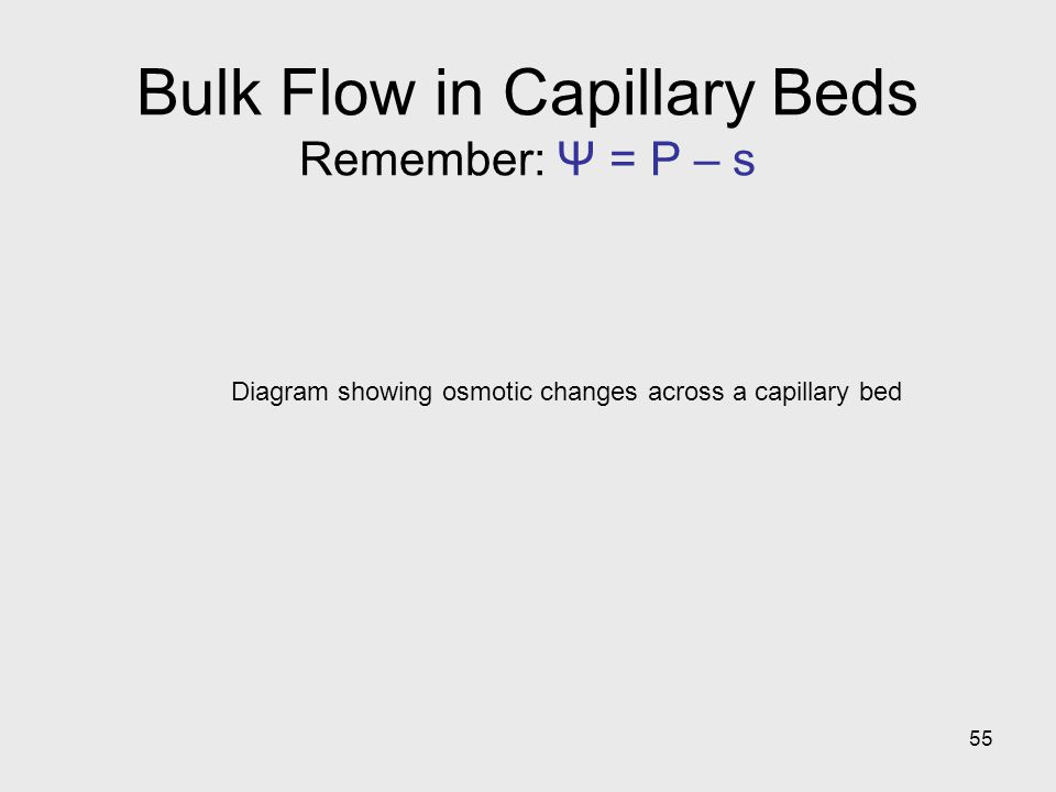 55 Diagram showing osmotic changes across a capillary bed Bulk Flow in Capillary Beds Remember: Ψ = P – s