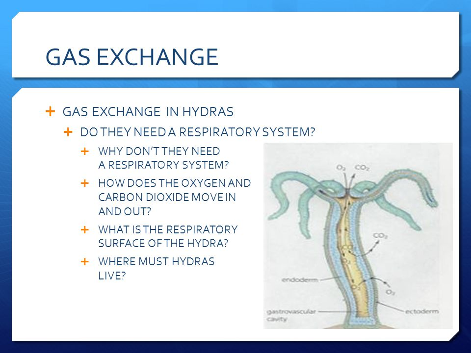 GAS EXCHANGE GAS EXCHANGE IN HYDRAS DO THEY NEED A RESPIRATORY SYSTEM? WHY DONT THEY NEED A RESPIRATORY SYSTEM? HOW DOES THE OXYGEN AND CARBON DIOXIDE