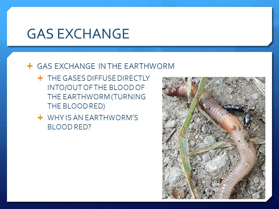 GAS EXCHANGE GAS EXCHANGE IN THE EARTHWORM THE GASES DIFFUSE DIRECTLY INTO/OUT OF THE BLOOD OF THE EARTHWORM (TURNING THE BLOOD RED) WHY IS AN EARTHWO