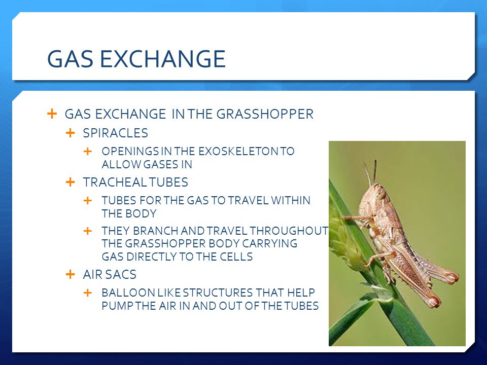 GAS EXCHANGE GAS EXCHANGE IN THE GRASSHOPPER SPIRACLES OPENINGS IN THE EXOSKELETON TO ALLOW GASES IN TRACHEAL TUBES TUBES FOR THE GAS TO TRAVEL WITHIN