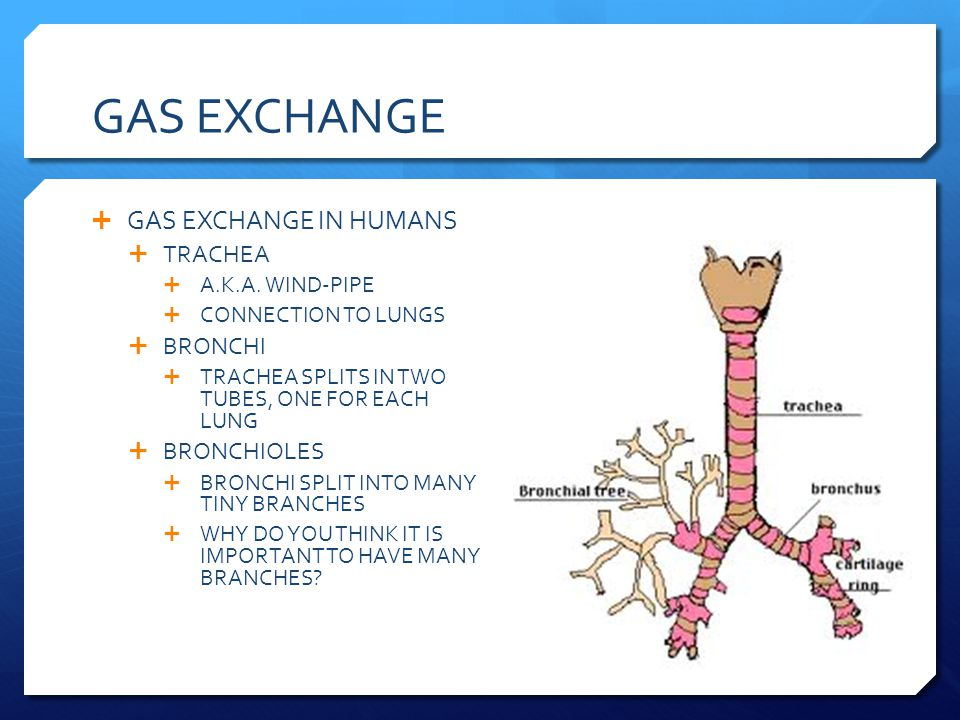 GAS EXCHANGE GAS EXCHANGE IN HUMANS TRACHEA A.K.A. WIND-PIPE CONNECTION TO LUNGS BRONCHI TRACHEA SPLITS IN TWO TUBES, ONE FOR EACH LUNG BRONCHIOLES BR