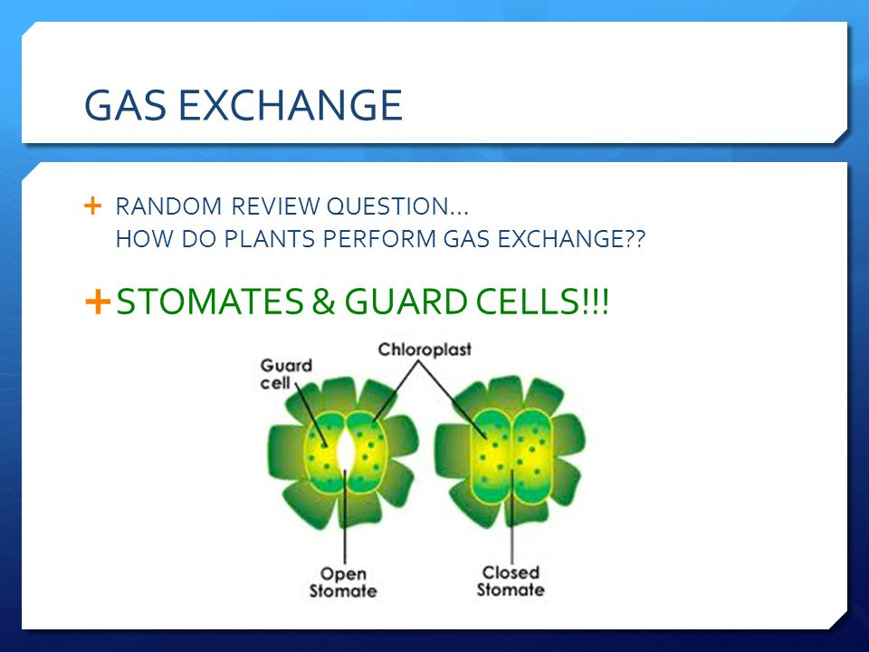 GAS EXCHANGE RANDOM REVIEW QUESTION… HOW DO PLANTS PERFORM GAS EXCHANGE?? STOMATES & GUARD CELLS!!!