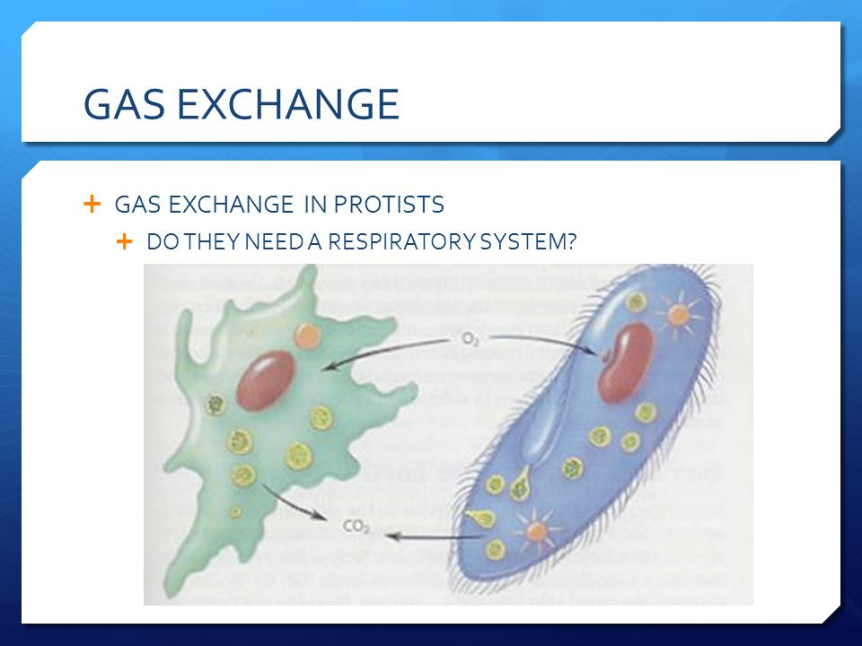 GAS EXCHANGE GAS EXCHANGE IN PROTISTS DO THEY NEED A RESPIRATORY SYSTEM?
