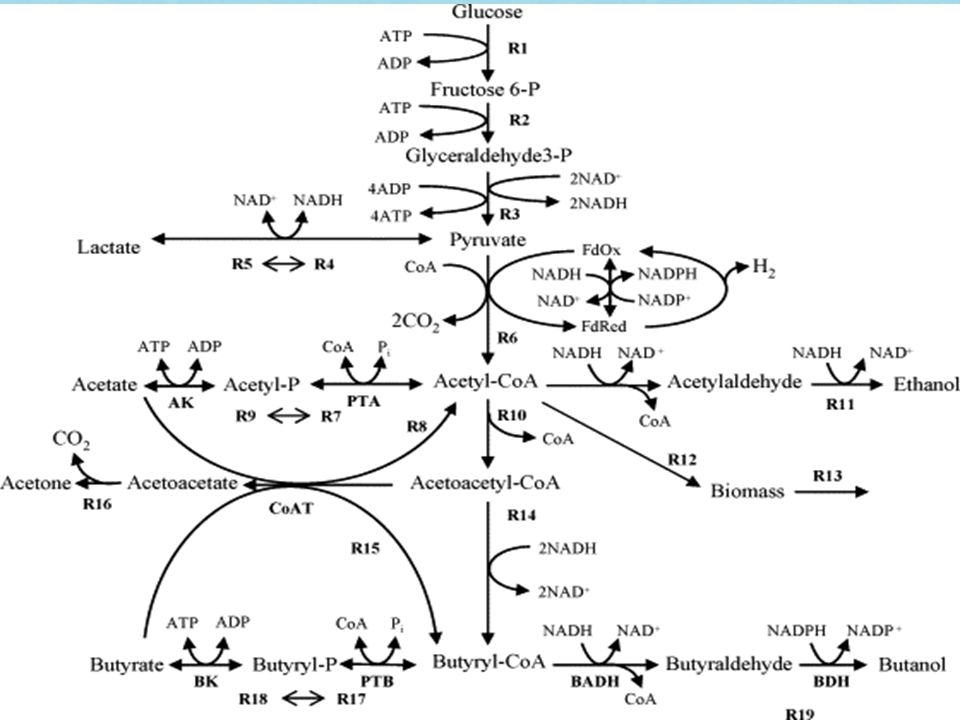 Gene Inactivation Inactivation of phosphotransacetylase which prevents production and accumulation of acetic acid (leads to growth inhibition) and inactivation of acetaldehyde dehydrogenase to prevent acetaldehyde production Genes inactivated through the introduction of synthesized suicidal vectors (1) pMTerm(B)pta23 and (2) pMTcat_aldh13 (1) Uses Erythromycin resistance gene erm(B) from Moorella thermoacetica for screening.