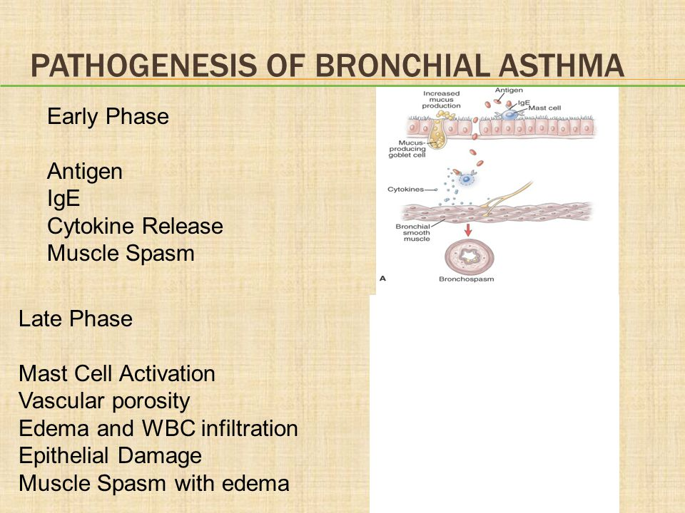 PATHOGENESIS OF BRONCHIAL ASTHMA Early Phase Antigen IgE Cytokine Release Muscle Spasm Late Phase Mast Cell Activation Vascular porosity Edema and WBC