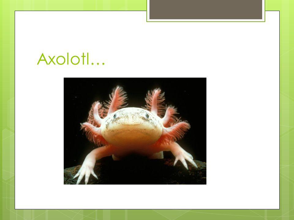 Axolotl…