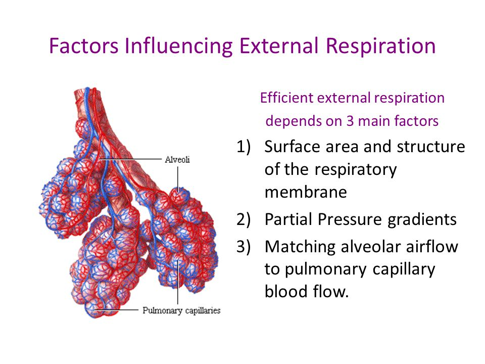 Factors Influencing External Respiration Efficient external respiration depends on 3 main factors 1)Surface area and structure of the respiratory membrane 2)Partial Pressure gradients 3)Matching alveolar airflow to pulmonary capillary blood flow.