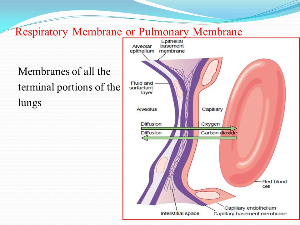 Factors That Affect the Rate of Gas Diffusion Through the Respiratory Membrane 1.
