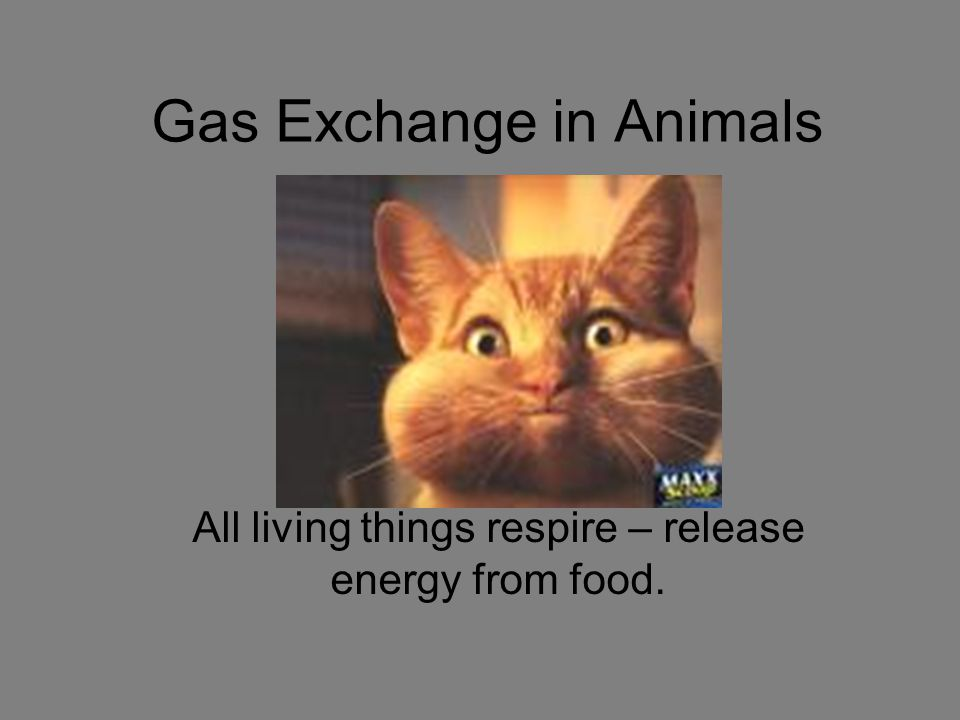Gas Exchange in Animals All living things respire – release energy from food.