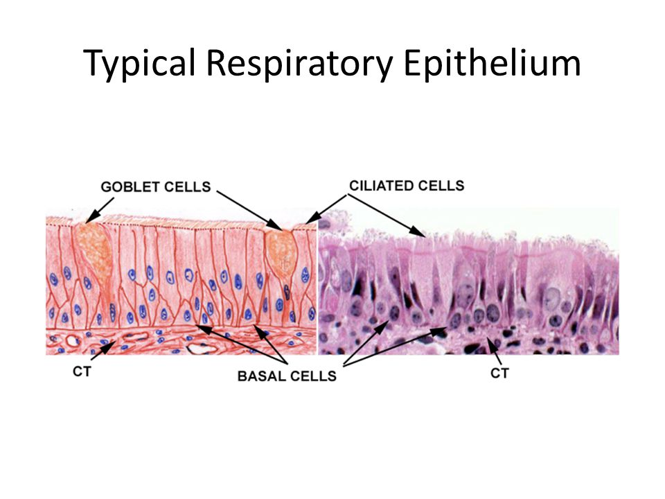The Gas Exchange System Structures – Lungs Have a HUGE surface area to increase efficiency of gas exchange Found in the thoracic cavity, surrounded by pleural membranes – Trachea Tube from the pharynx to the bronchi Contains c-shaped cartilage rings to prevent collapse and rupture Lined with pseudostratified columnar epithelium with ciliated cells and goblet cells