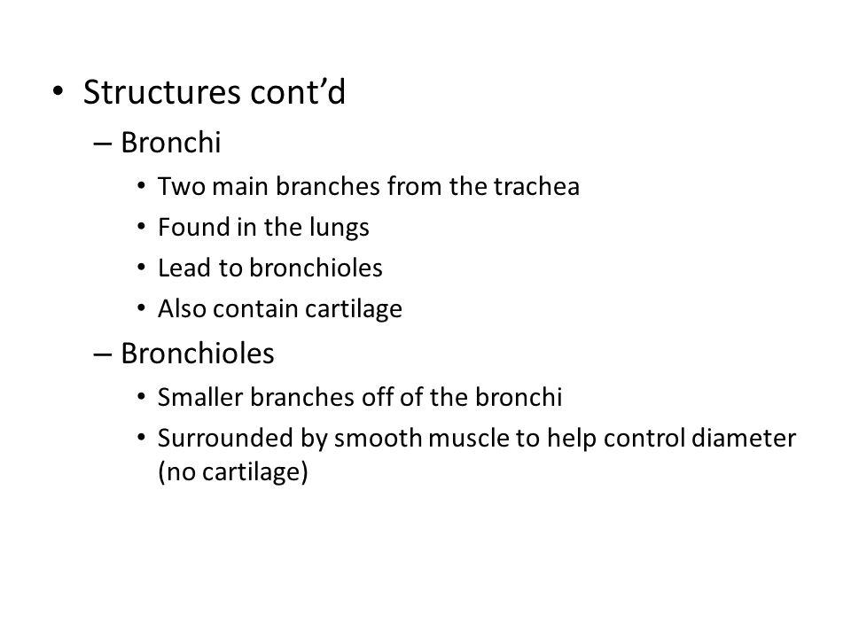 Bronchus cross-section