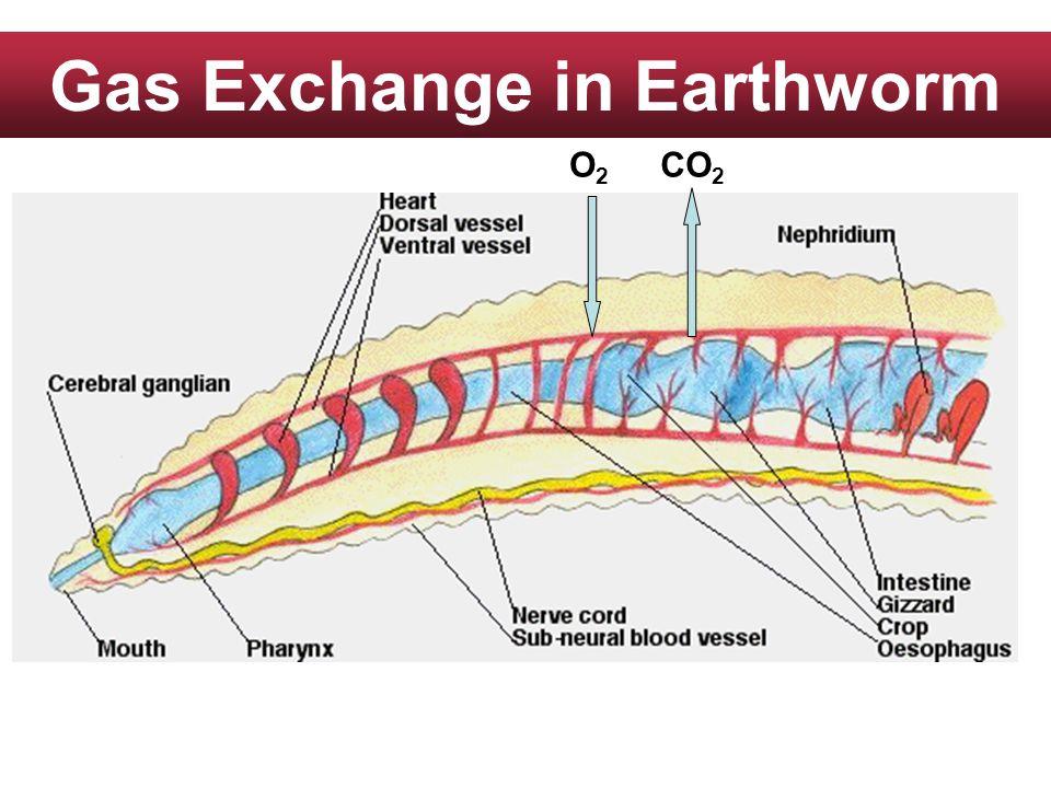 Gas Exchange in Earthworm O2O2 CO 2