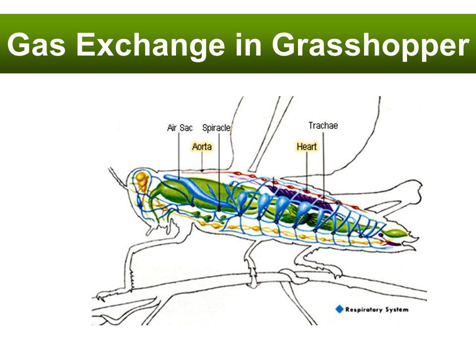 Gas Exchange in Grasshopper