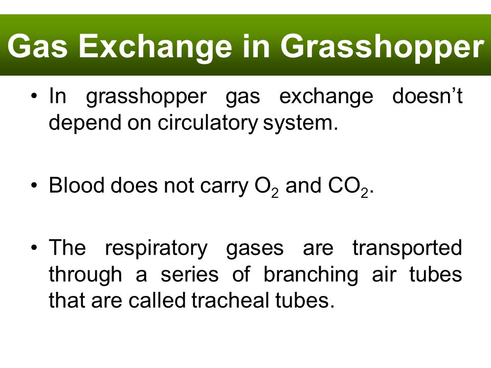 In grasshopper gas exchange doesnt depend on circulatory system. Blood does not carry O 2 and CO 2. The respiratory gases are transported through a se